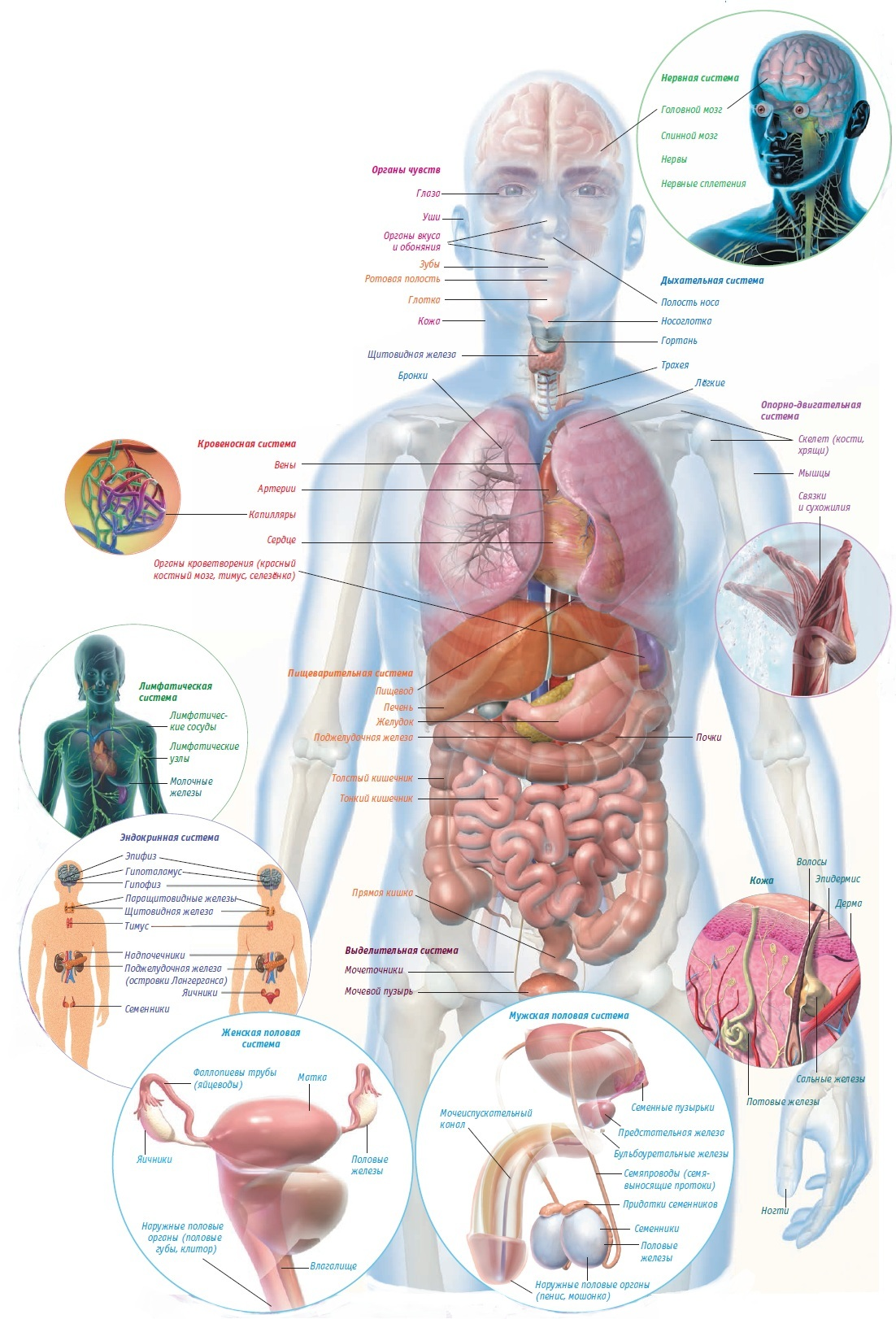 Internal human organs diagram